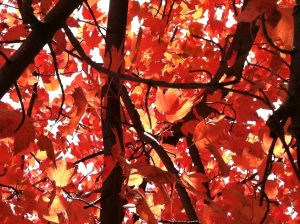 red leaves and black branches, seen from beneath