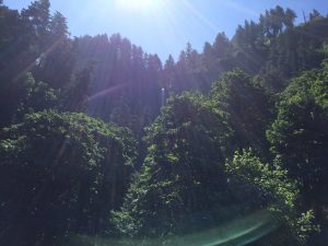sun on pine forest